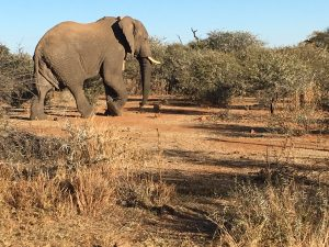 South African elephant in wilderness